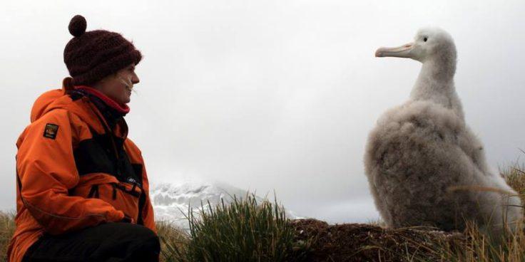 Albatross chicks growing up fast (Siân Tarrant)