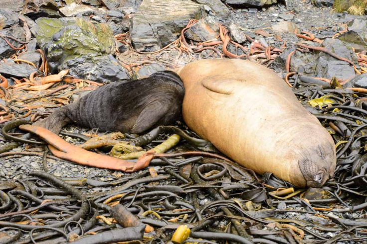 Elephant seal pup and mother (Alastair Wilson)