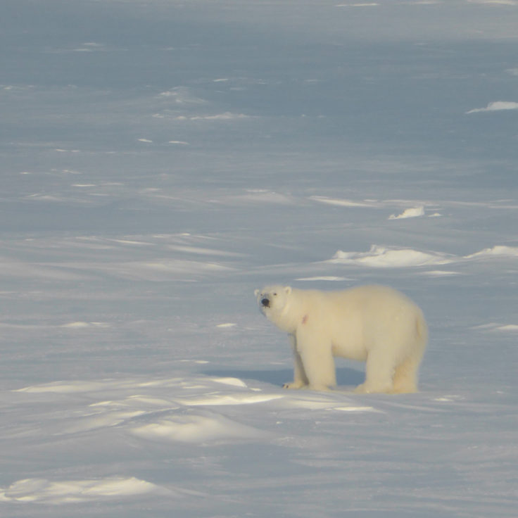 Deep into Polar bear territory - this one came within a few feet of the ship to check us out (Markus Frey)