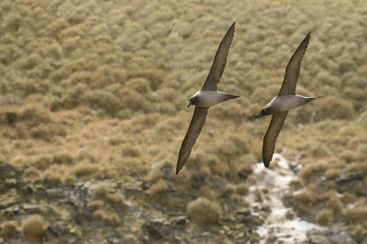 Light-mantled sooty albatrosses (Alastair Wilson)