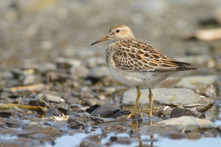 A visiting juvenile Pectoral Sandpiper at Bird Island (Alastair Wilson)