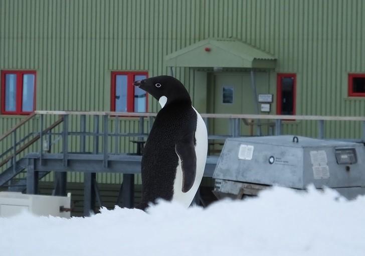 tom penguin