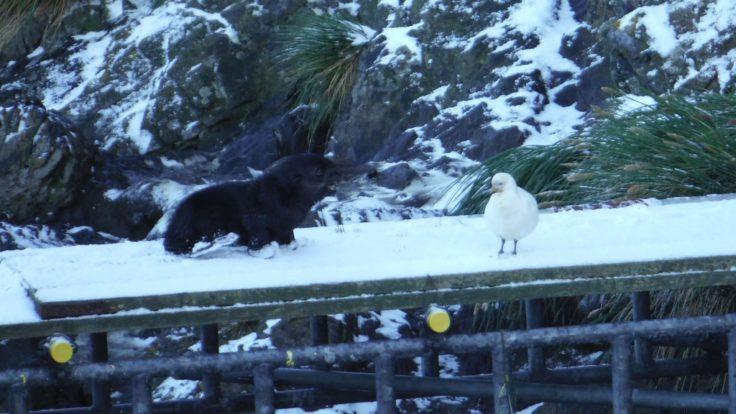 A curious pup investigates a snowy sheathbill