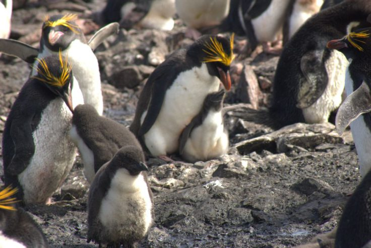 Macaroni penguins with their chicks