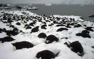 Adelie Penguins ( Pygoscelis adeliae) incubating in deep snow.