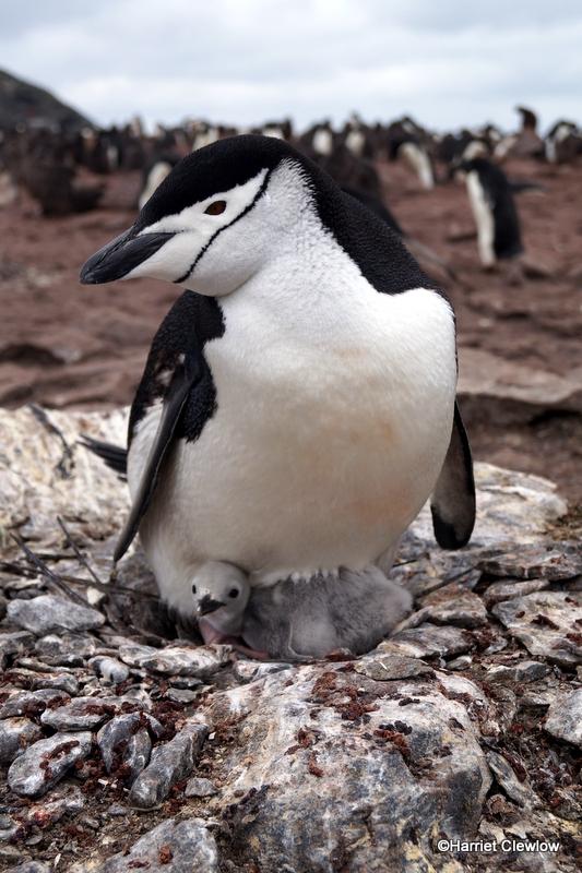A penguin standing on a rocky beach.
