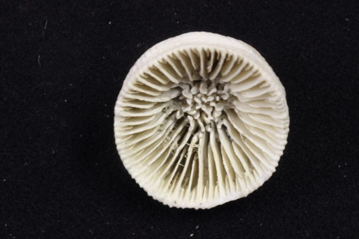 Fossil Coral Skeleton