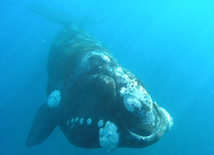 A southern right whale swimming just below the surface Credit: William Rayment