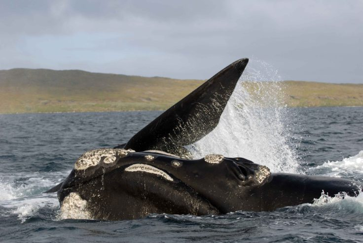 A whale rolling on the surface Credit: Carlos Olavarria