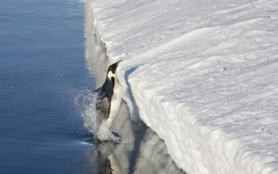 Adult Emperor penguin (Aptenodytes forsteri) leaping onto the sea ice close to the penguin colony.