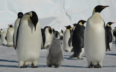 Emperor Penguin parents and chick