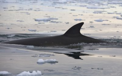 A minke whale (Balaenoptera acutorostrata) in the waters off the Antarctic Peninsula.