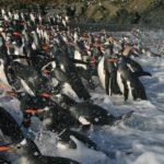 A flock of penguins in the water