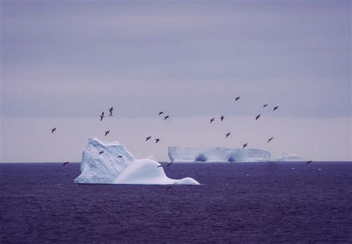 Petrels and icebergs at Signy Island