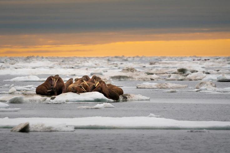 A herd of walruses on an ice floe