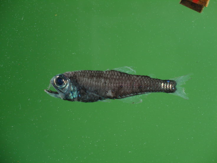 Lanternfish in the Southern Ocean