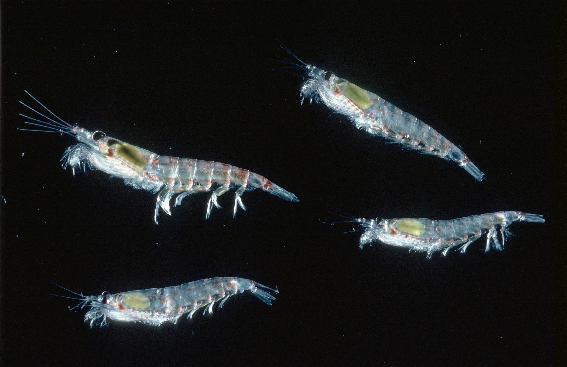 krill availability on Antarctic