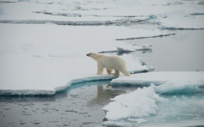 A polar bear is swimming in the water.