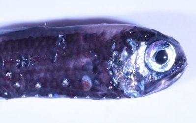 A close up of a fish.