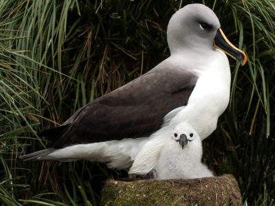 Grey-headed Albatross with chick