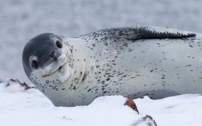 A seal on the snow.