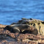A seal on a rock next to a body of water.
