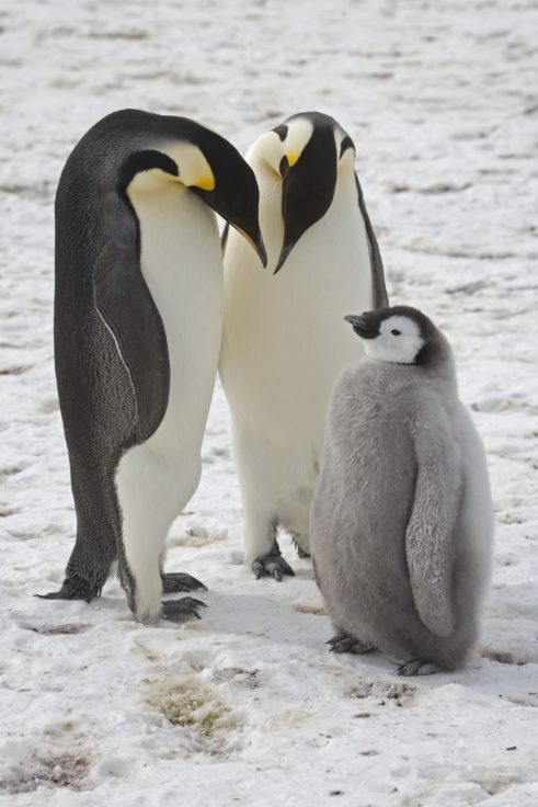 'Catastrophic' breeding failure at one of world's largest emperor penguin colonies