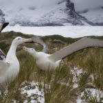 Wandering albatrosses displaying