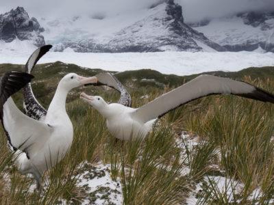 Wandering albatrosses displaying