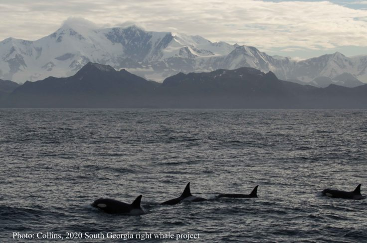 Killer whales, South Georgia