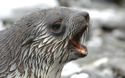 A close up of a seal with its mouth open.