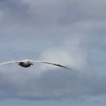 Wandering albatross in flight in South Georgia