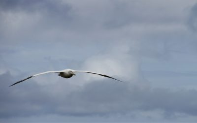 Wandering albatross in flight in South Georgia