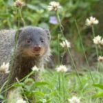 A mongoose bear that is standing in the grass