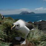 Grey headed albatross