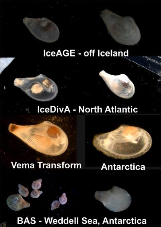 Deep sea bivalves