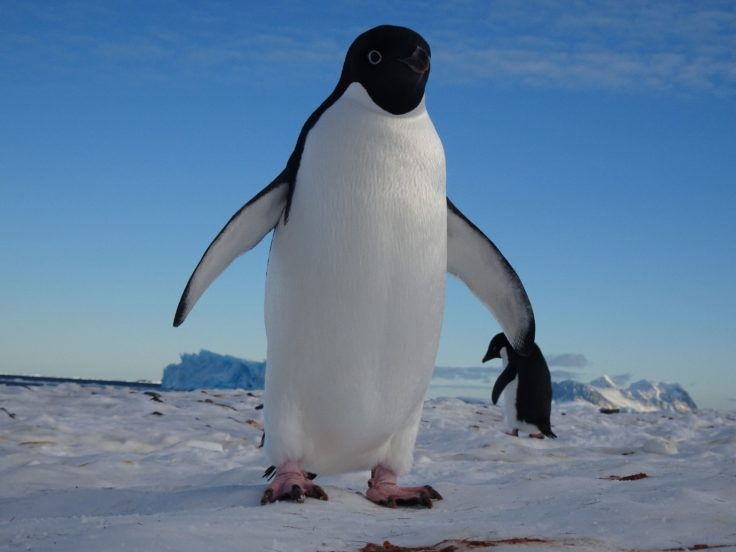 Adelie Penguin at Rothera Research Station