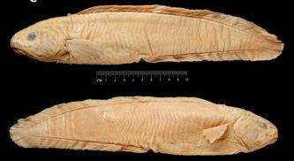Eel cod