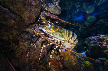 Rock lobsters' long-distance relationship
