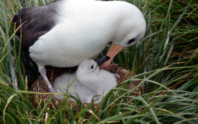 Black-browed albatross with chick