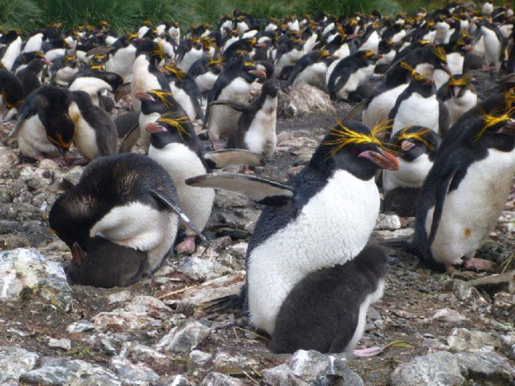 A macaroni penguin (Eudyptes chrysolophus) colony on Bird Island, South Georgia