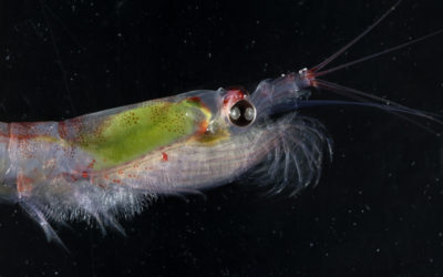 A krill swimming under water