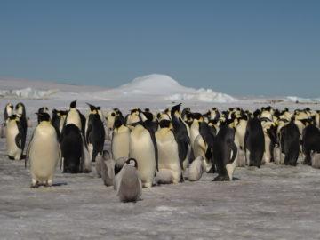 Climate change risk to emperor penguins