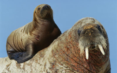 An adult and juvenile walrus